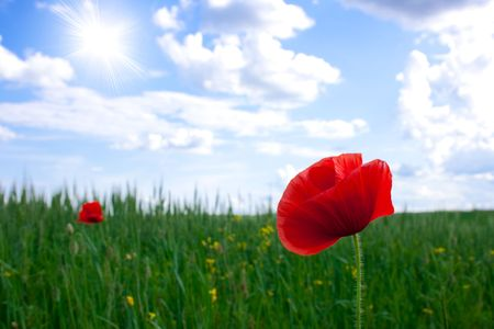 Red poppies growing in a rye field sun Stock Photo - 5017829