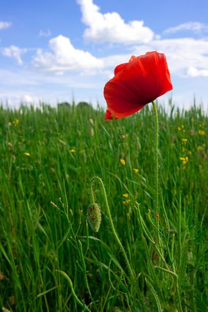 Red poppies growing in a rye field  photo