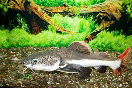 sheatfish: Este es un sheat peces (Phractocephalus hemioliopterus), fotografiado en un acuario