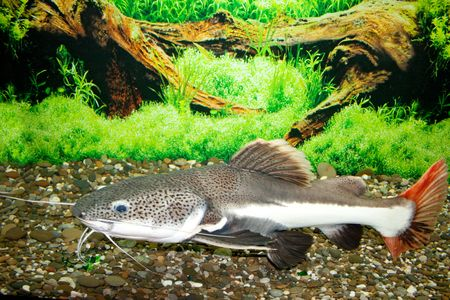 This is a sheat-fish (Phractocephalus hemioliopterus), photographed in an aquarium