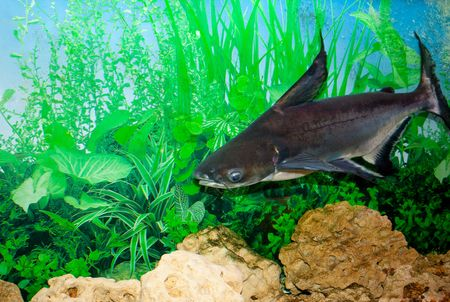 This is a sheat-fish (Pangasianodon gigas), photographed in an aquarium
