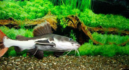 wildllife: This is a sheat-fish (Phractocephalus hemioliopterus), photographed in an aquarium