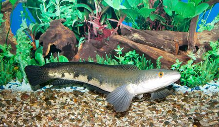 This is a Snakehead (Channa Scopoli), photographed in an aquarium