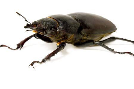 insecta: Closeup of common stag beetle female (Lucanus cervus) sits on a white background