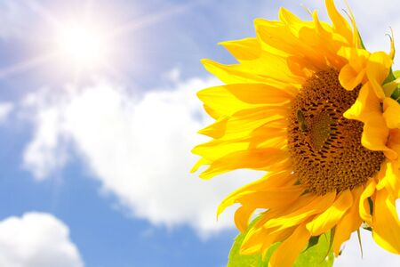 Amazing large sunflower, bright sun and blue cloudy sky background