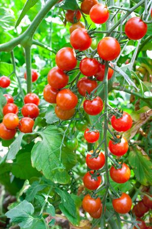 Red tomatoes growing in hothouse. Ripe tomatoes on a background a green-leaf Stock Photo