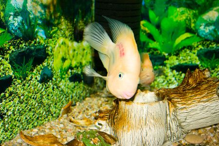 This is a Parrot fish, photographed in an aquarium