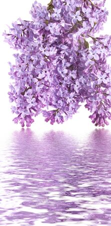 violet buds of lilac are reflected in water