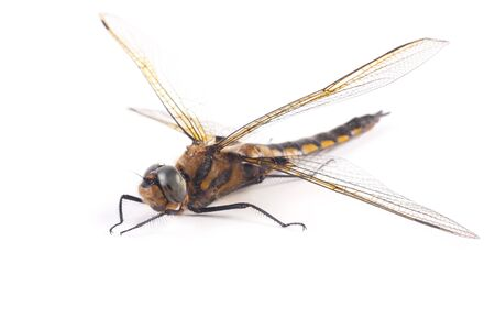 Dragon-fly. Dragonfly sits on a white background Stock Photo
