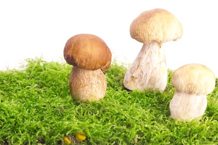 Three little beautiful, fresh boletus edulis in forest moss photo