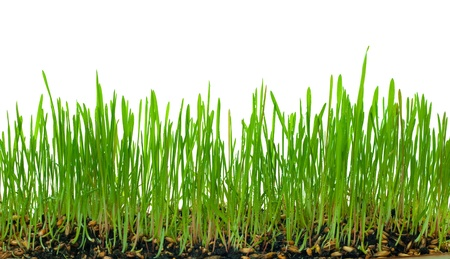 A macro closeup of wheat grass growing from the roots in the ground of dirt and soil isolated on a white background photo