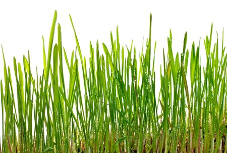 A macro closeup of wheat grass growing from the roots in the ground of dirt and soil isolated on a white background