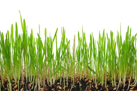A macro closeup of wheat grass growing from the roots in the ground of dirt and soil isolated on a white background Stock Photo - 9045964