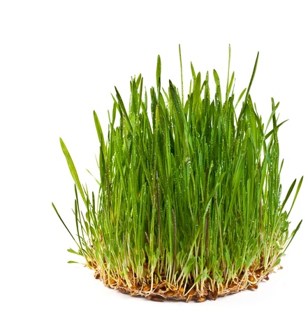 A macro closeup of wheat grass growing from the roots in the ground of dirt and soil isolated on a white background Stock Photo - 9278426