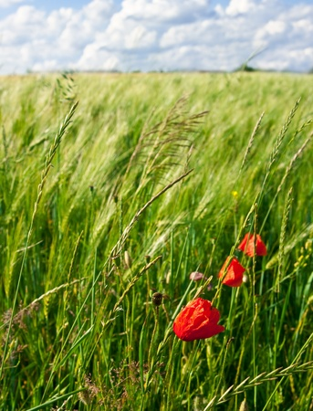 Red poppies growing in a rye field on a background dark blue, cloudy sky Stock Photo - 9905501