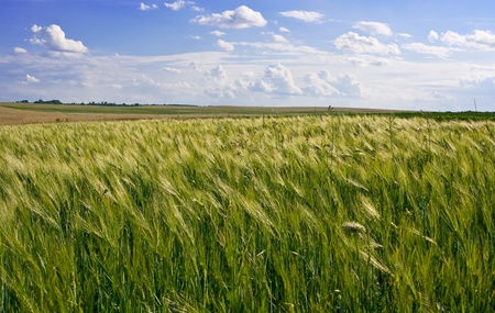 Agricultural landscape of wheat corn field on small scale sustainable farm Stock Photo - 9905504
