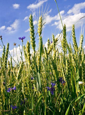 Summer. Corn-flowers and wheat ears on a background cloudy blue sky Stock Photo - 9905502