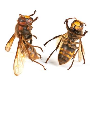 abdomen yellow jacket: Two dancing big dangerous hornet on white background