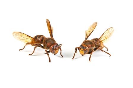 Two big dangerous hornet on white background  Stock Photo