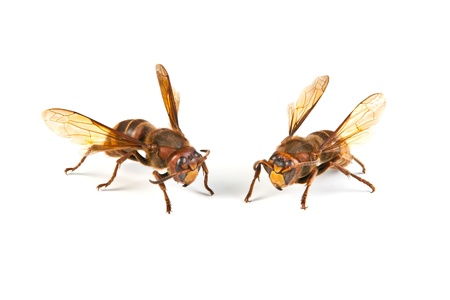 Two big dangerous hornet on white background  Stock Photo