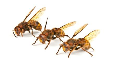 Many big dangerous hornet on white background