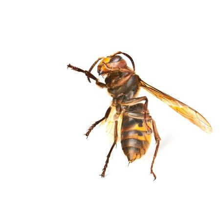abdomen yellow jacket: One dancing big dangerous hornet on white background