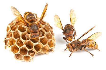 dancings big dangerous hornet and wasp on white background  Stock Photo