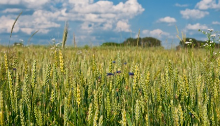 Summer. Corn-flowers and wheat ears on a background cloudy blue sky Stock Photo - 10020811