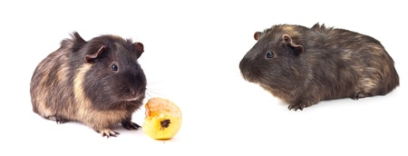 set guinea pig on the white background