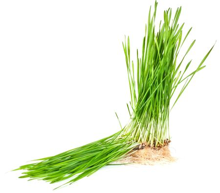 macro closeup of wheat grass growing from the roots in the ground of dirt and soil isolated on a white background photo