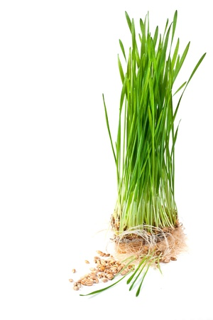 Green sprouts of germinating wheat on a white background photo