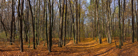 Panorama. Forest road in autumn and forest in all its warm colors Stock Photo