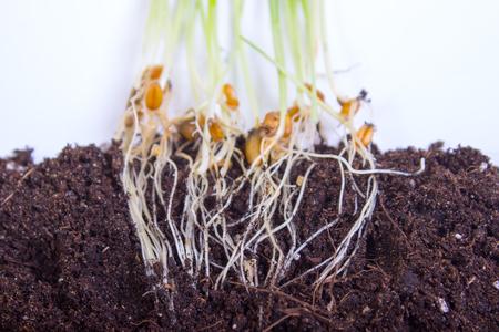 トウモロコシの種からの苗は、白で隔離する成長