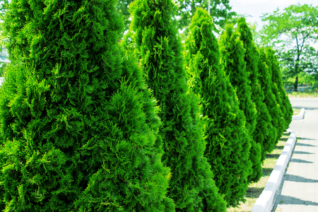 Thuja at the road in the summer. Decorative Thuya.