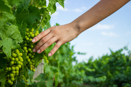Vines in Hand wit warm sunlight. Farmer examining growing grapes