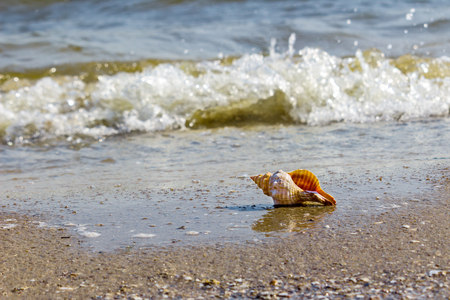 Lonely shell clam on the sand on the beach near the seashore