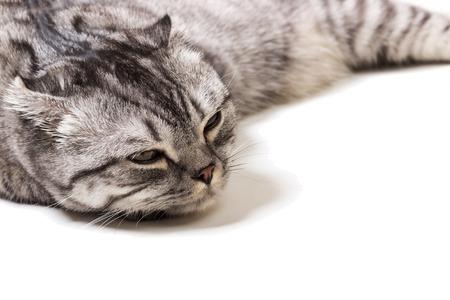 Tired Scottish kitten on a white background. Scottish kitten at a doctors reception Stock Photo