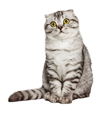 scottish straight: Portrait of a surprised cat Scottish Fold Straight, Cat sleeping on the ground And pondering the past stories in life, the Cute cat sleeps, Scottish Fold in front of a white background. Stock Photo