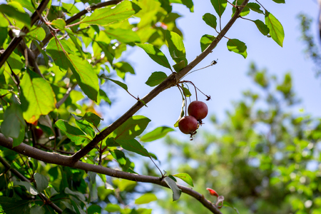 Paradise apples growing on a tree. reduce apples. bright red apples.