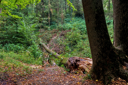 Fallen tree in the forest after rain. Stock Photo - 88466822