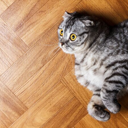 British cat lying on the floor. surprised Scottish cat on the floor with copy space. Archivio Fotografico
