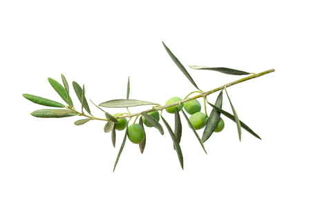 green twig of olive tree branch with berries isolated on white background.