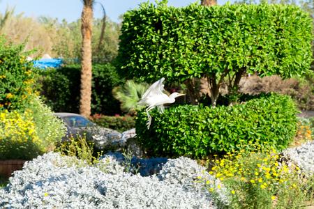Little white egret in flying in sunny Egypt.