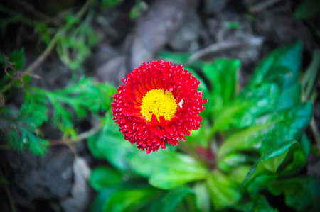 gules: red color flower