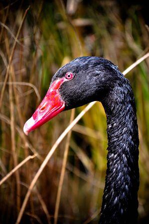 black: black swan Stock Photo