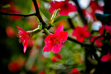 gules: red flower blooming Stock Photo