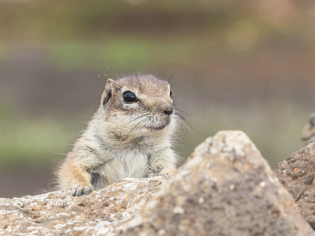 perky: Squirrel on the Canary Islands at his shelter on a stone fence.