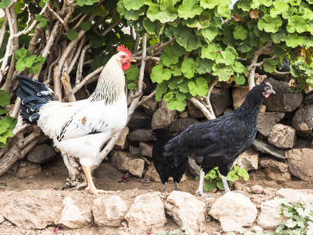 stock breeding: White rooster and black hen in an agricultural farm yard.