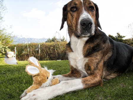 cuddly toy: Dog playing with easter bunny on the grass. Stock Photo