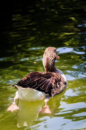 color image mallard duck: Lonely duck is swimming